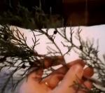 черенкование хвойных-cherenkovanie-hvoynyih
