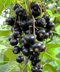 лучшие сорта черной смородины_luchshie-sorta-chernoy-smorodinyi
