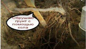 пересадка взрослого винограда_peresadka_vzroslogo_vinograda