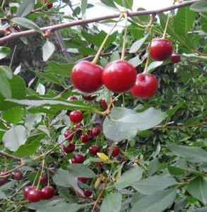 как ускорить плодоношение_kak-uskorit-plodonoshenie
