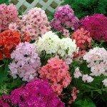 выращивание- многолетних- флоксов-vyirashhivanie-mnogoletnih-floksov