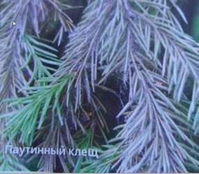 болезни и вредители хвойников-  bolezni-i - vrediteli-hvoynikov
