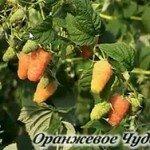 малина-оранжевое-чудо