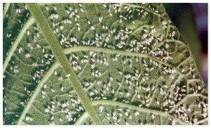 тепличная- белокрылка-teplichnaya-belokryilka