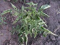Prichina-skruchivaniya-listev-u-pomidor