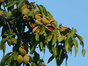 выращивание-миндаля-vyirashhivanie-mindalya
