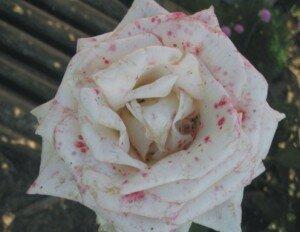 obrabotka-roz-ot-bolezney